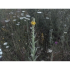 GREAT MULLEIN seeds (verbascum thapsus)