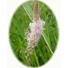 view details of HEMP AGRIMONY seeds (eupatonum cannabinum)