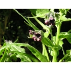 HOUNDS TONGUE seeds (cynoglossum officinale)