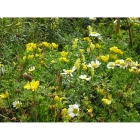view details of Wildflowers for Sandy Soils- 100% wild flower seed mix