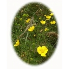 view details of MARSH MARIGOLD seeds (caltha palustris)