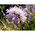 Honey Bee Meadow mix -Wildflower and Grass seed Mixture