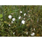WHITE CAMPION seeds (silene latifolia)