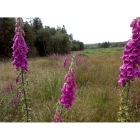 WILD FOXGLOVE seeds (digitalis purpurea)