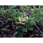 WILD LIQUORICE seeds (astragalus glycphyllos)