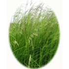 view details of Tall Fescue (festuca arundinacea)
