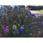Urban annual Wildflowers with Native species (100% wildflower mix)