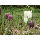 view details of English Bluebell bulbs (hyacinthoides-non-scripta)