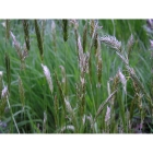 Woodland and Hedgerow Meadow grass mix (100% Meadow Grass mix)