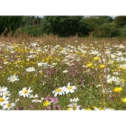 view details of Basic Wildflowers-100% wild flower seed mix