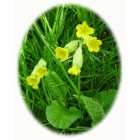COWSLIP native plugs (primula veris)