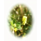 view BLACK MEDICK seeds (medicago lupulina) details